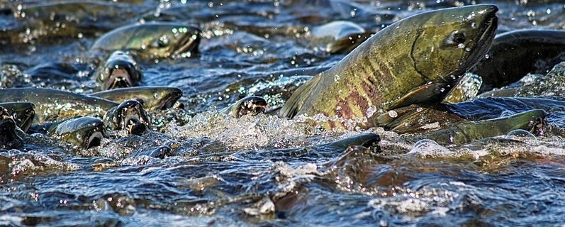 Alaskan salmon on the move!