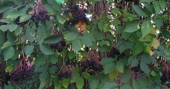 Elderberries will keep you from getting sick!