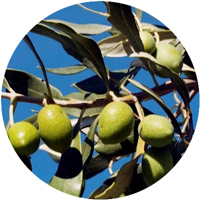 Olives are key to the healthy Mediterranean diet
